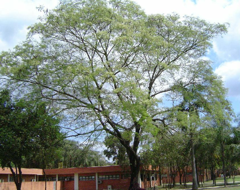 Pau Brasil Pau Brasil
