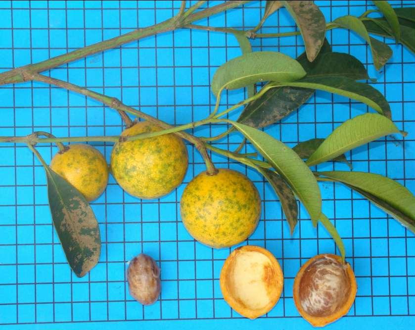 garcinia%20sp02 Bacupari  Mudas de Bacupari