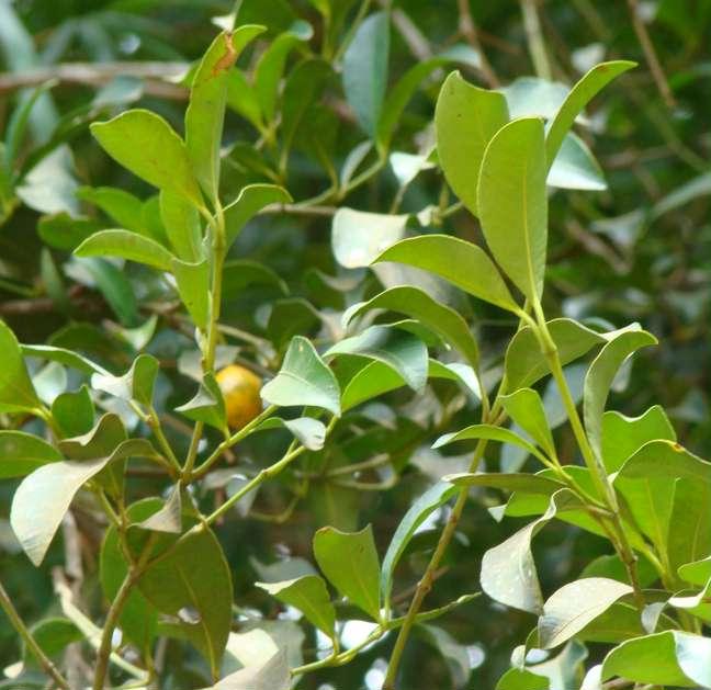 Arvores nativas de bacu pari