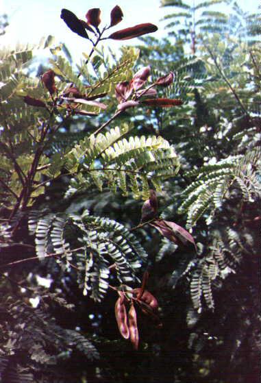 faveiro peltophorum dubium