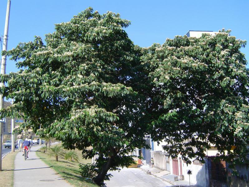 ... : Floresce em Agosto a Setembro. Frutos maduros em Dezembro